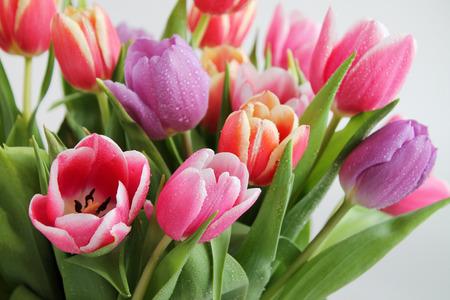 tulipan: Close-up tulipanów kwiaty z kroplami rosy. Zdjęcie Seryjne