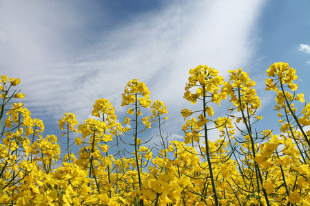 oilseed: Canola, Oilseed Rape, Biodiesel Crop and sky