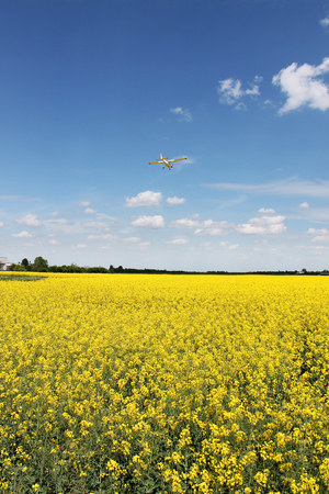 oilseed: Canola, Oilseed Rape, Biodiesel Crop and sky