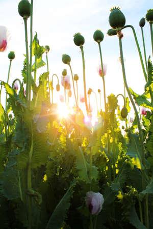 non cultivated land: Poppy field near Prague, Czech Republic