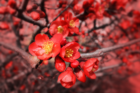 membrillo: Flores de Membrillo floreciente Foto de archivo