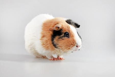 cavie: Multicoloured guinea pig. (Cavia porcellus) - popular household pet.