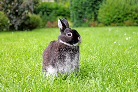 Little black rabbit on the spring lawn. Netherland Dwarf Rabbit. Zdjęcie Seryjne