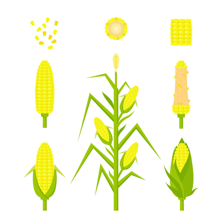 Vector set yellow corn in flat style isolated on white background. Ripe vegetable, corncobs, farming design elements.