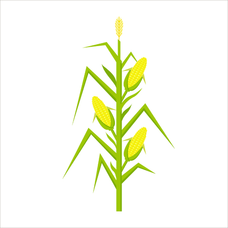 Vector yellow corn in flat style isolated on white background. Ripe vegetable, corncobs, farming harvesting design elements.