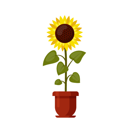 Sunflower cartoon grown in a flowerpot isolated on a white.