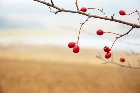 hawthorn branch with red berries, late autumn, shallow DOF Stock Photo