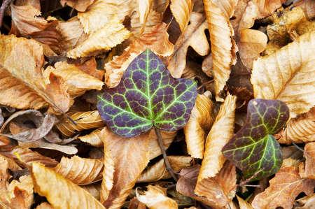 thru: ivy grows thru fallen autumn tree leaves