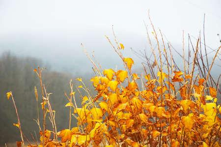 el amarillo brillante se va en el arbusto, backgrownd misty