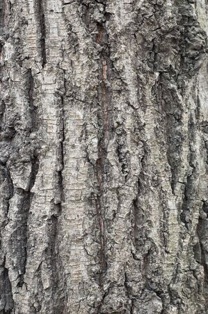 Old tree coarse bark texture/background #3 Stock Photo - 667887