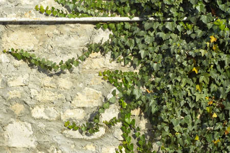 ivy on limestone and cement wall background Stock Photo - 708043