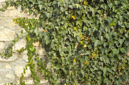 ivy on limestone and cement wall background Stock Photo - 708042
