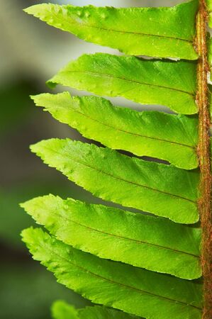 shallow dof: Ferns frond macro closeup. Extremely shallow DOF. Stock Photo