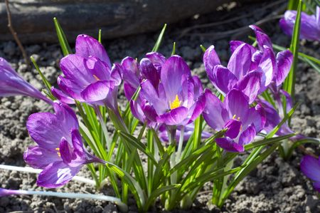 flower bed of violet crocuses grown on open ground photo
