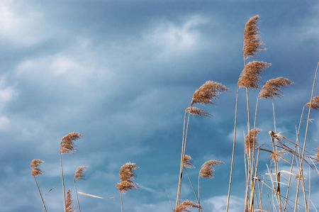 sun dried yellow dead reed on the background of gloomy sky photo
