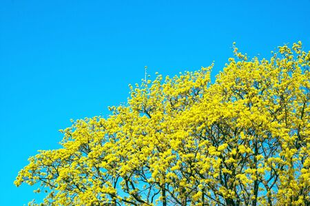 yellow-green maple tree blossoms on the clear blue sky background photo