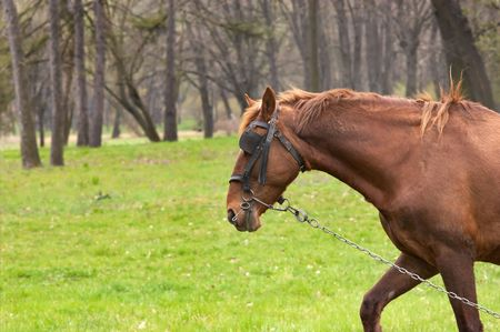 unfairness: One brown horse with chain on the green grass.