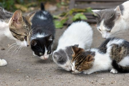 stray kittens are eating, other cats  shows curiosity.
