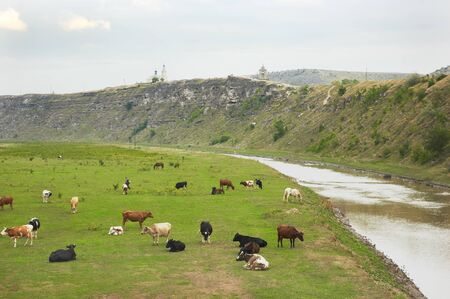 cows herd over grassland landscape of Old Orhei (Moldova) photo