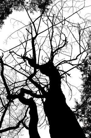monochrome dead tree silhouette isolated on white Stok Fotoğraf