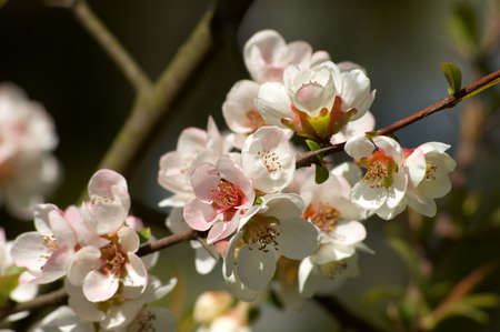 pinkish: pinkish blossoms on the branch of almond tree