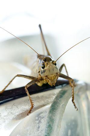 facing the camera: macro shot of big locust facing camera Stock Photo