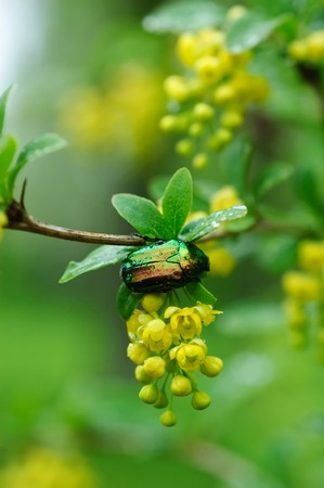 golden cetonia bug with water drops after rain, sitting on the branch of plant photo