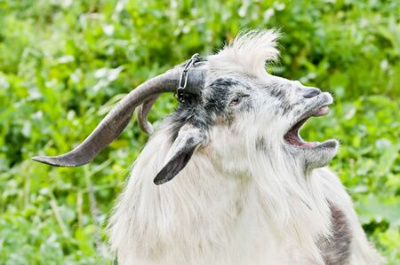 open country: domestic goat with open mouth at meadow