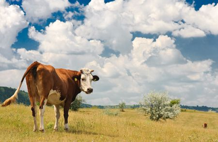 brown cow grazing at summer sunny meadow photo