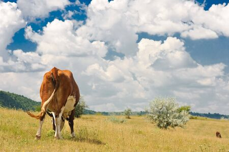 rear view of a cow grazing at summer sunny meadow photo