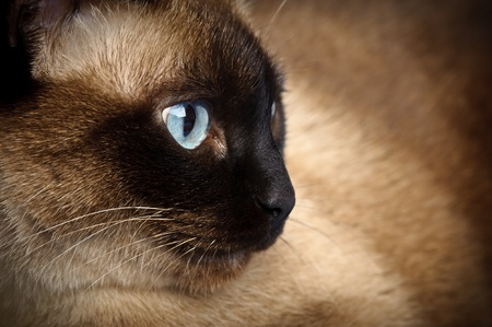 siamese cats: facial close up of cute blue-eyed siamese cat Stock Photo