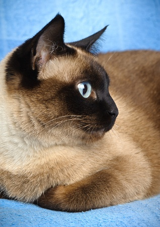 blue siamese: close up of cute blue-eyed siamese cat Stock Photo