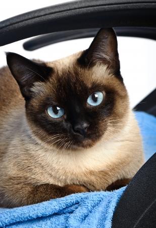 close-up van schattige blauwe ogen siamese kat Stockfoto
