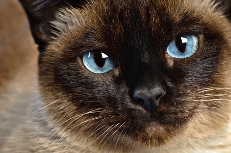 close-up van schattige blue-eyed siamese kat