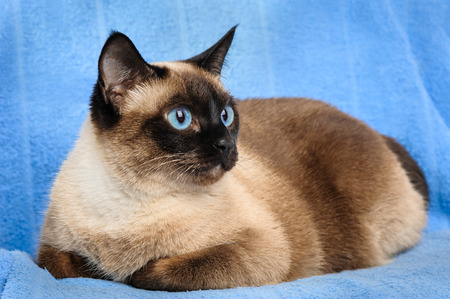 siamese cats: close up of cute blue-eyed siamese cat Stock Photo