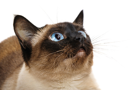 Closeup of cute blue-eyed siamese cat isolated on white  Whiskers are striped  photo
