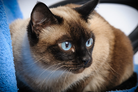 close up of cute blue-eyed siamese cat photo