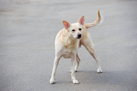 stray dog: Lonely white stray dog standing on asphalt Stock Photo