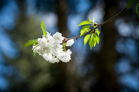 blooming cherry branch on dark background photo