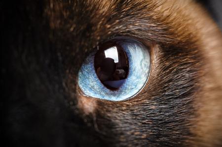 シャム猫の 1 つ目のマクロのクローズ アップ 写真素材