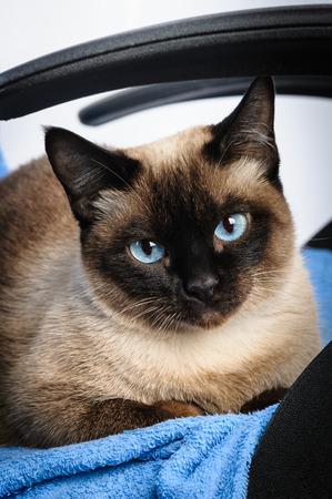 blue siamese cat: siamese cat face macro closeup