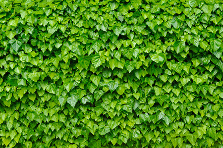 thick growth: Green ivy background