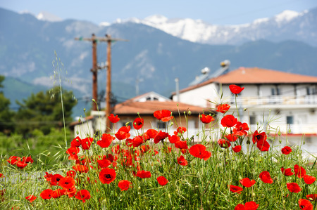 olympus: Red poppy flowers at the foot of Olympus Mountain