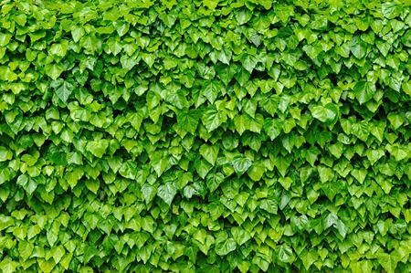 Green ivy leaves background