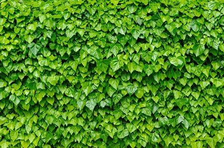 Groene klimop bladeren achtergrond