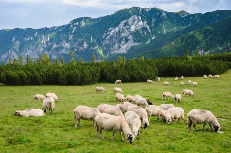 Sheep herds at alpine pastures in Retezat National Park, Carpathians, Romania. Stok Fotoğraf - 45127181