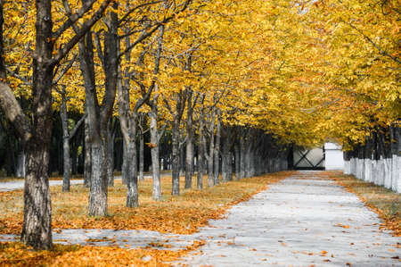 yellow trees: Autumn park alley with yellow leaves on trees Stock Photo