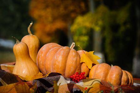 dynia: Typowy jesienią dziękczynienia martwa natura w kratkę kratę, dynie, czerwonych jagód i żółtych liści