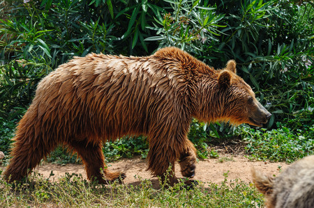 wet bear: Brown european bear with wet fur in zoo standing at ground