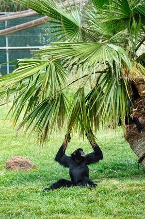 biped: black female gibbon in zoo climbing on palm tree